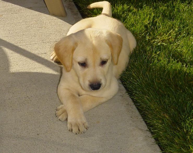 Labrador Bambini ~ Yellow lab puppy kellydogs pinterest