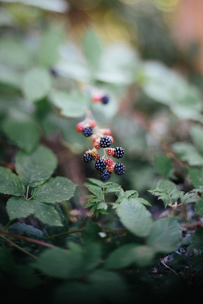 MissZiyal || Wild Berries - August in WA means blackberries anywhere and everywhere. They make a good subject for freelensing. {August 2015}