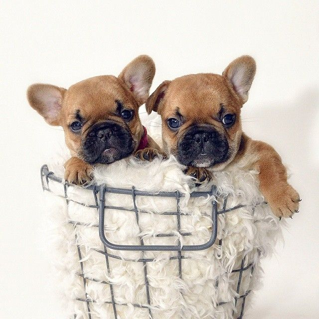 Girl And Boy French Bulldog Puppies Bulldog French Bulldog