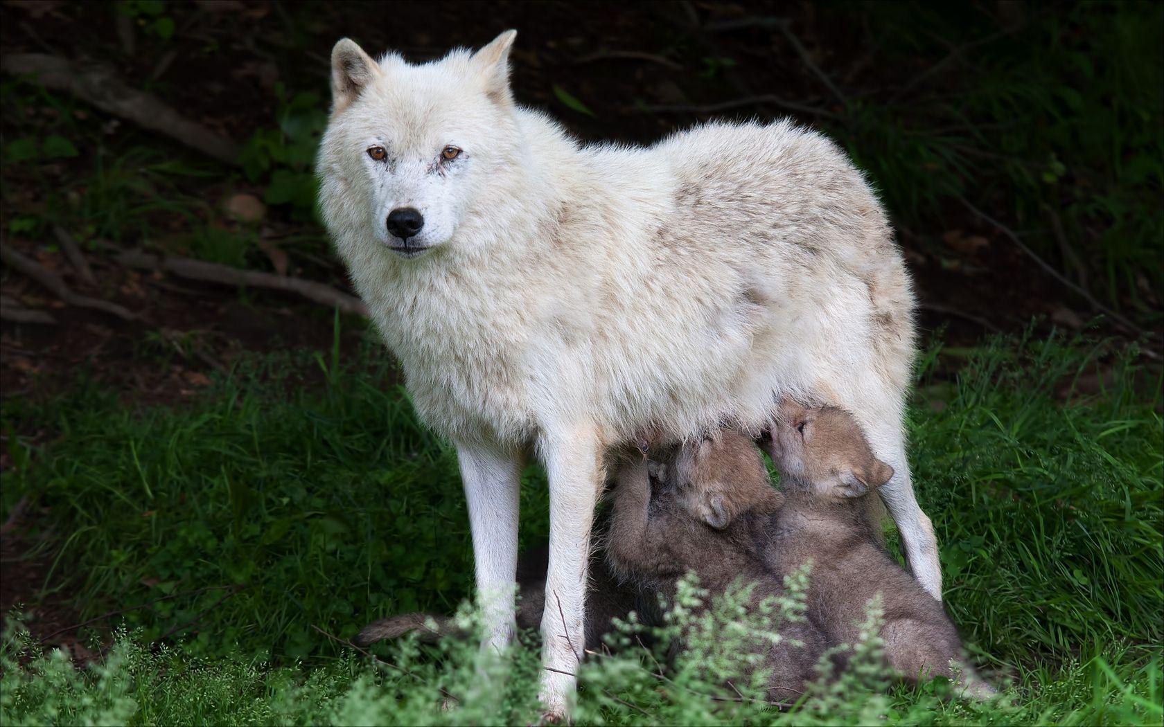白いオオカミ のアイデア 投稿者 Jw Mariko さん 白いオオカミ