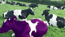 What is a Purple Cow?
