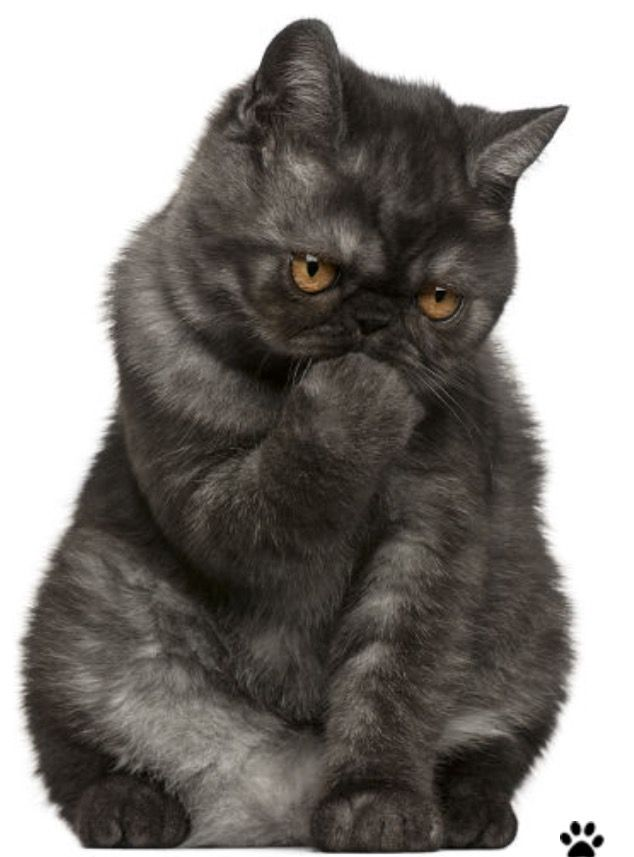Pin By Holly Rogenski On Cats Meow Pinterest Exotic Shorthair