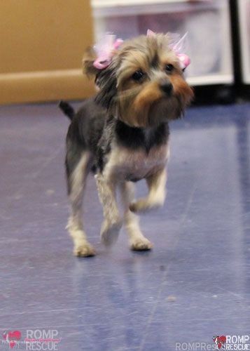 Chicago Yorkie Rescue Yorkie Rescue Yorkshire Terrier Puppy Pup