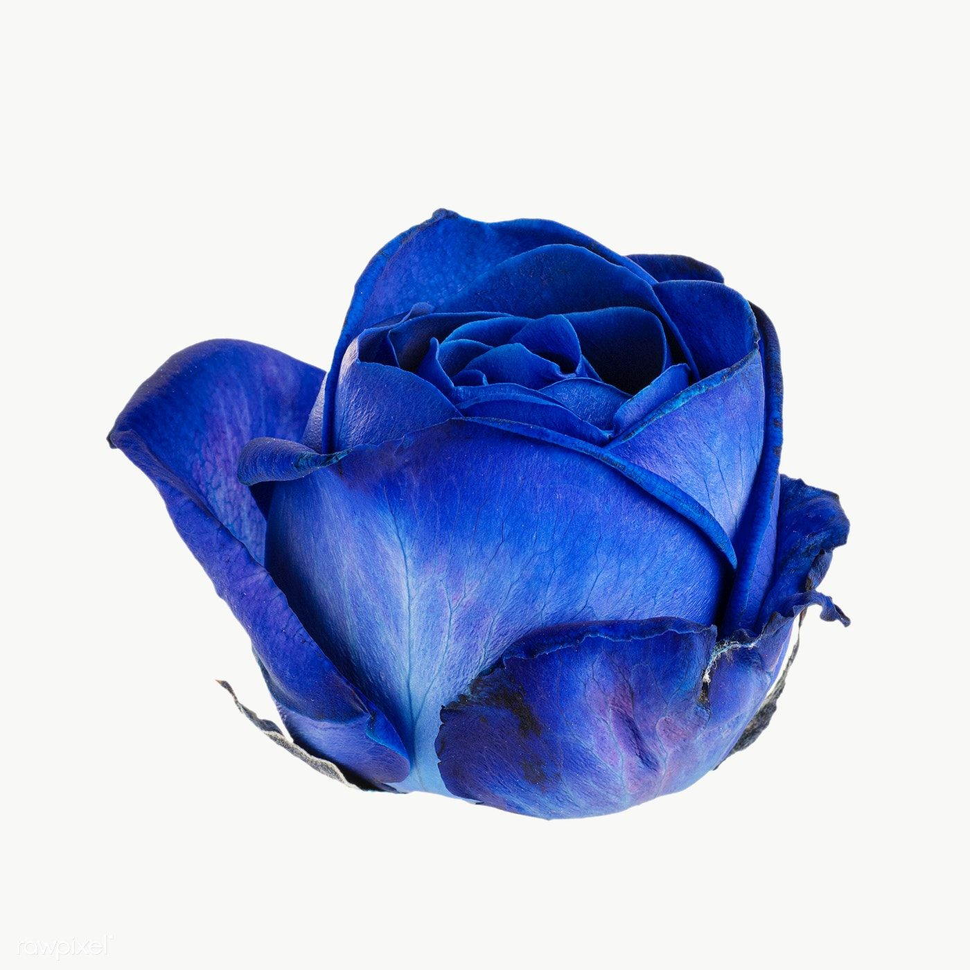 Blue Rose Flower Transparent Png Free Image By Rawpixel Com Jira In 2020 Yellow Rose Flower White Lily Flower Red Rose Flower