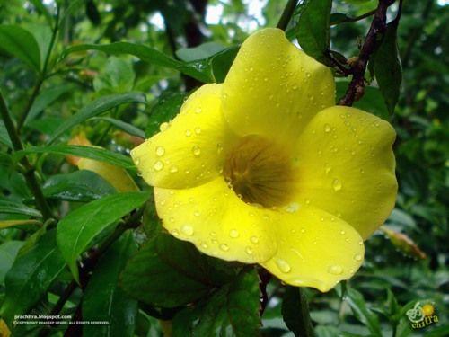 The Golden Trumpet Yellow Bell Flower Allamanda Cathartica