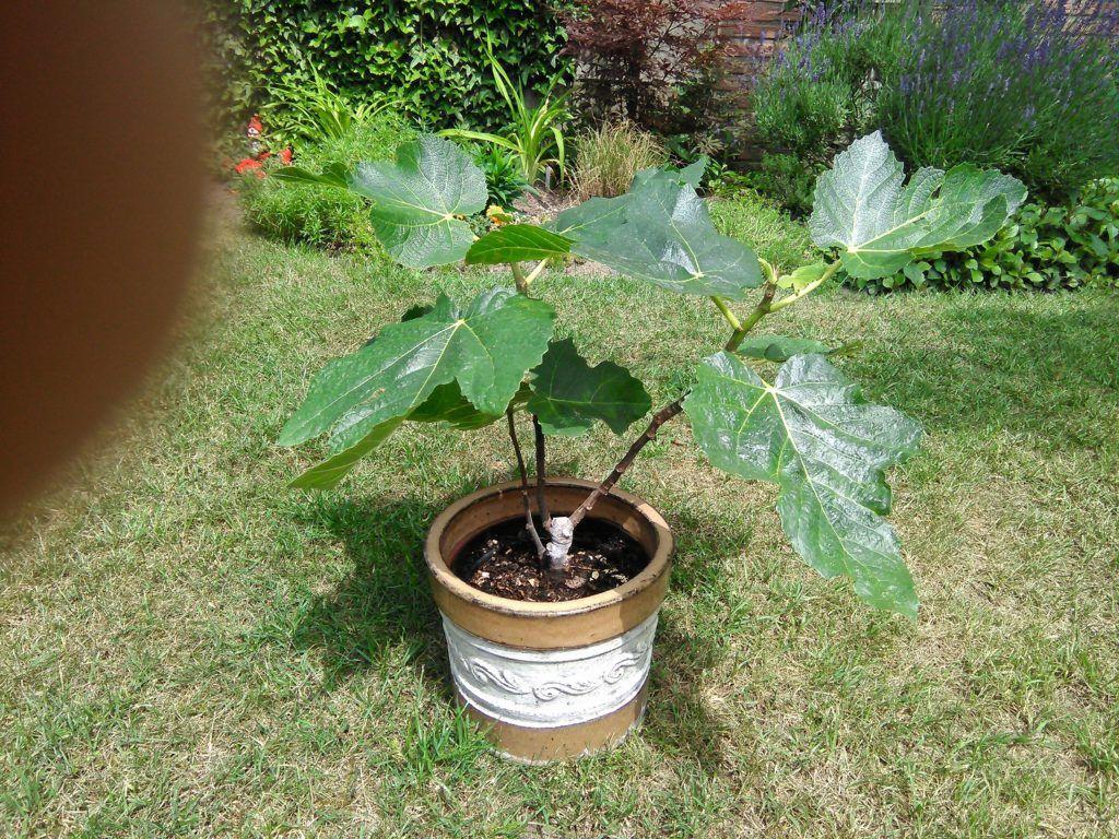 Ein Feigenbaum Im Topf Pflege Standort Und Feigenernte Feigenbaum Garten Pflanzen Pflanzen