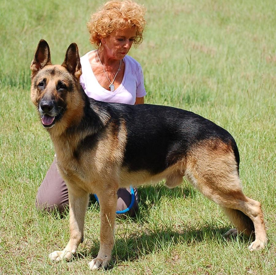 Adopt ARCHIE AD 081316 on German shepherd dogs, Rescue
