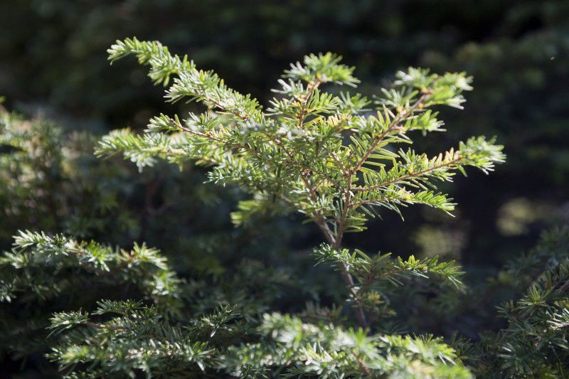 RARE APPALACHIAN MOUNTAIN GROWN  LIMITED SUPPLY AVAILABLE  Hemlock  Tsuga canadensis  Perfect for privacy screens and hedges  Plant 2' apart for hedge  Can be sheared to any height or shape  Tolerates both full sun and shade, prefers a balance ...