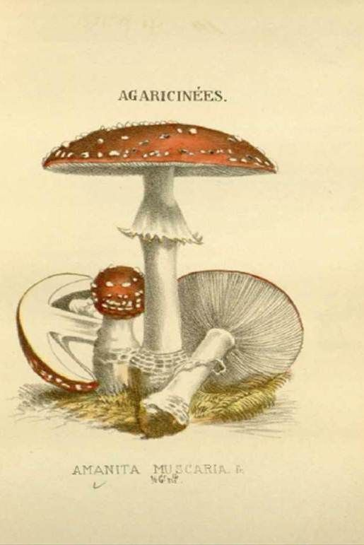 Historical Works   American Society of Botanical Artists - Fly agaricus