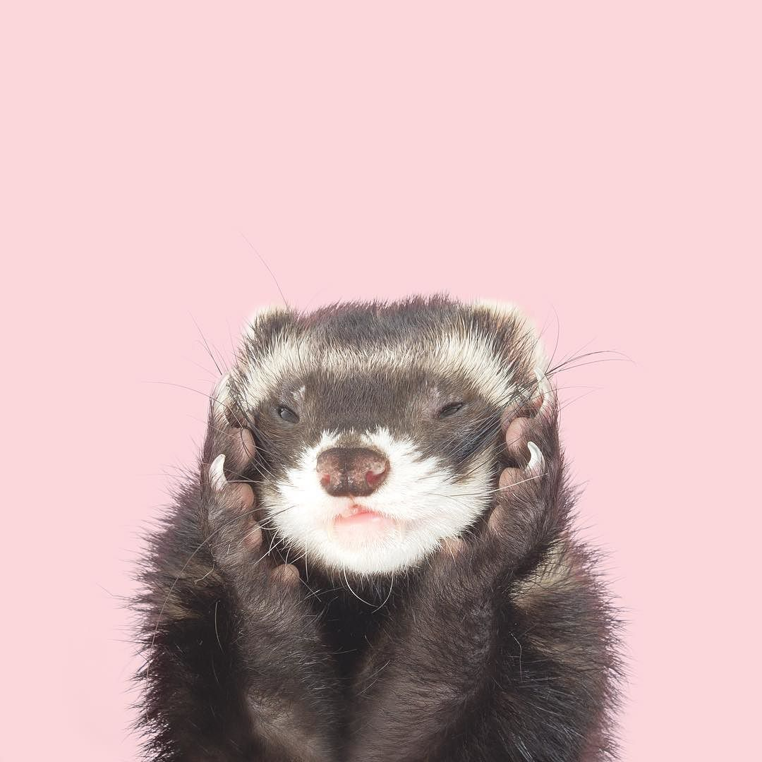 Oh Hello Mr February Heartthrob Our Annual Giant Ferret Calendar Available In Bio The Modern Ferret Etsy Pet Photographer Ferret Animal Photography