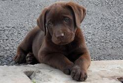 In My Dreams I Lab Puppies Puppies Lab Puppy