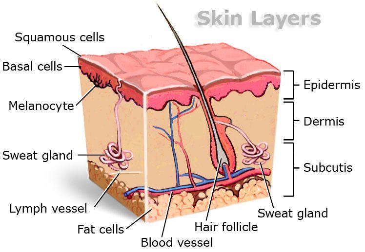 Encantador Anatomy And Physiology Skin Model Bandera - Anatomía de ...