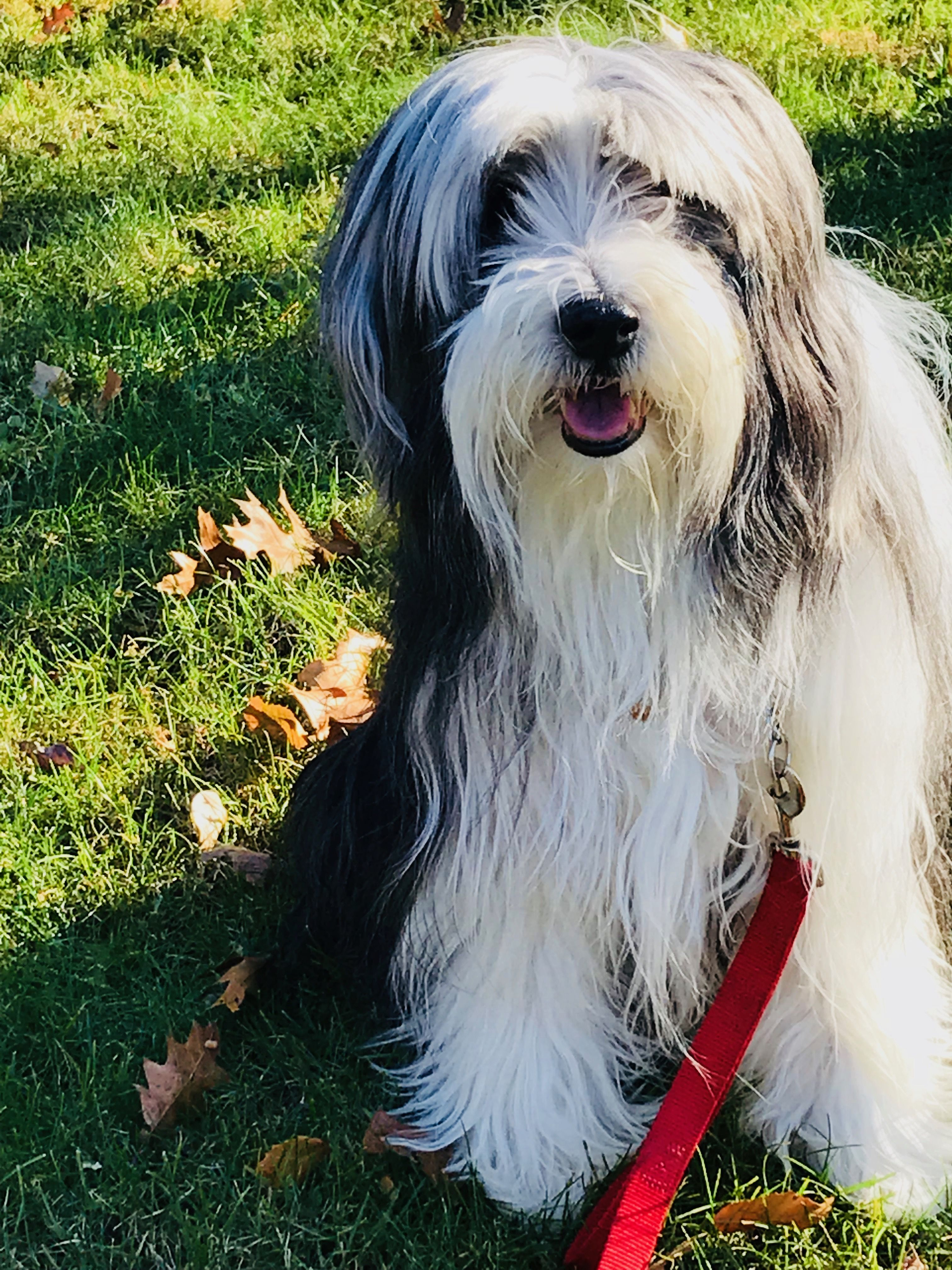 Beautiful Bearded Collie Co Owner Efkwearableart Bangles And