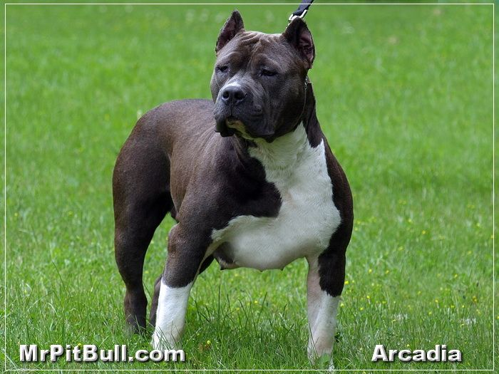 Blue Razor Edge Pitbull Representing The Bully Pitt To The