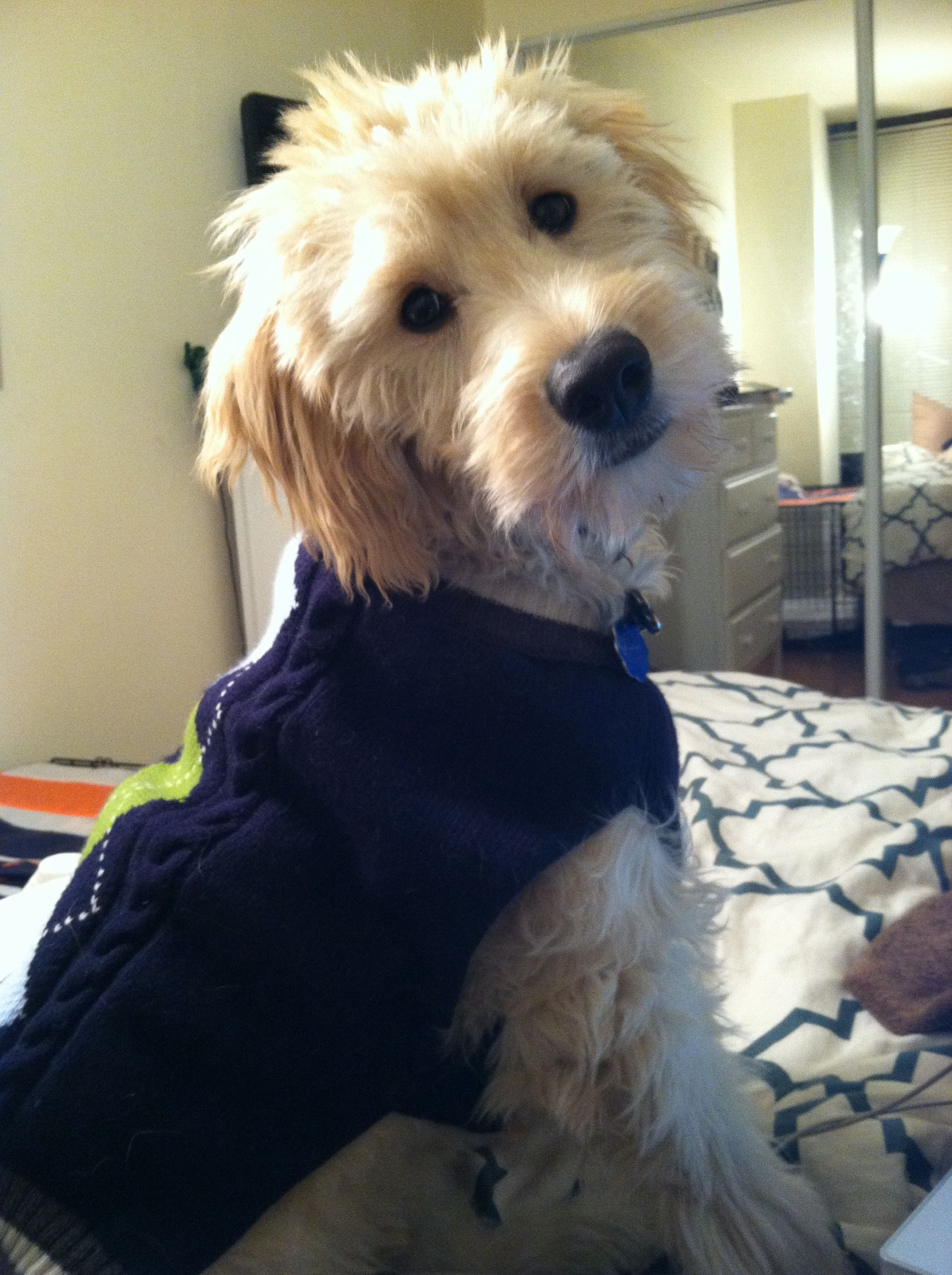 Sweater Is A Go For Sassypaw Goldendoodle Puppy Sweater Vest