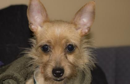 1 / 11     Petango.com – Meet Tawney, a 1 year 6 months Chihuahua, Short Coat / Terrier, Yorkshire available for adoption in COLORADO SPRINGS, CO Contact Information Address  PO Box 88468, COLORADO SPRINGS, CO, 80908  Phone  (719) 445-6787  Website  http://milldogrescue.org  Email  info@milldogrescue.org