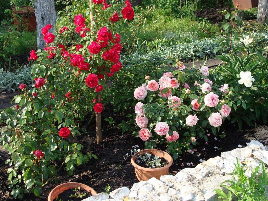 сад огород своими руками посев петунии