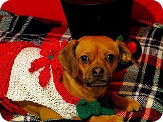 Livonia, MI - Pug Mix. Meet Michonne, a dog for adoption. http://www.adoptapet.com/pet/10915717-livonia-michigan-pug-mix