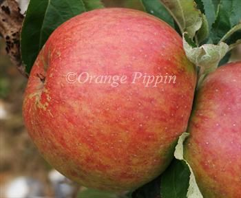 King Of Tompkins County Apple Trees Apple Tree Apple Apple Tree Gardening