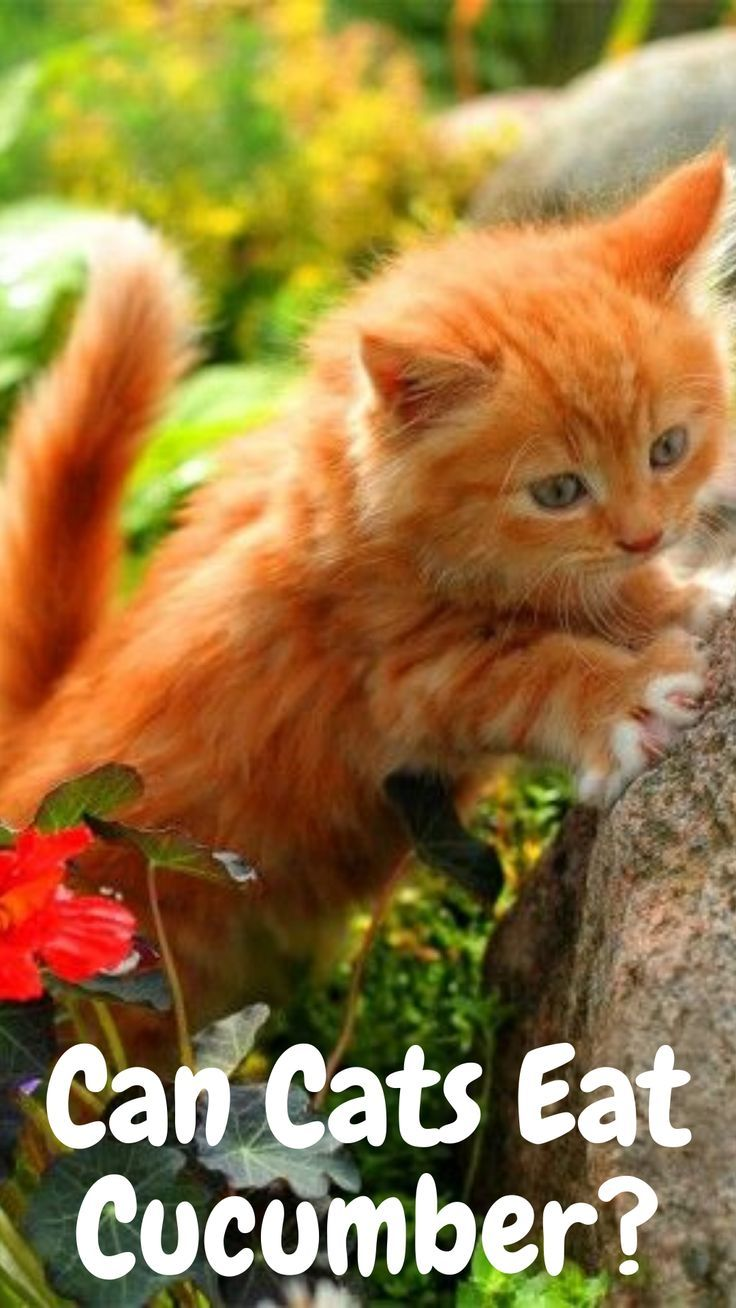 Can Cats Eat Cucumber? in 2020 Kittens funny, Funny cats