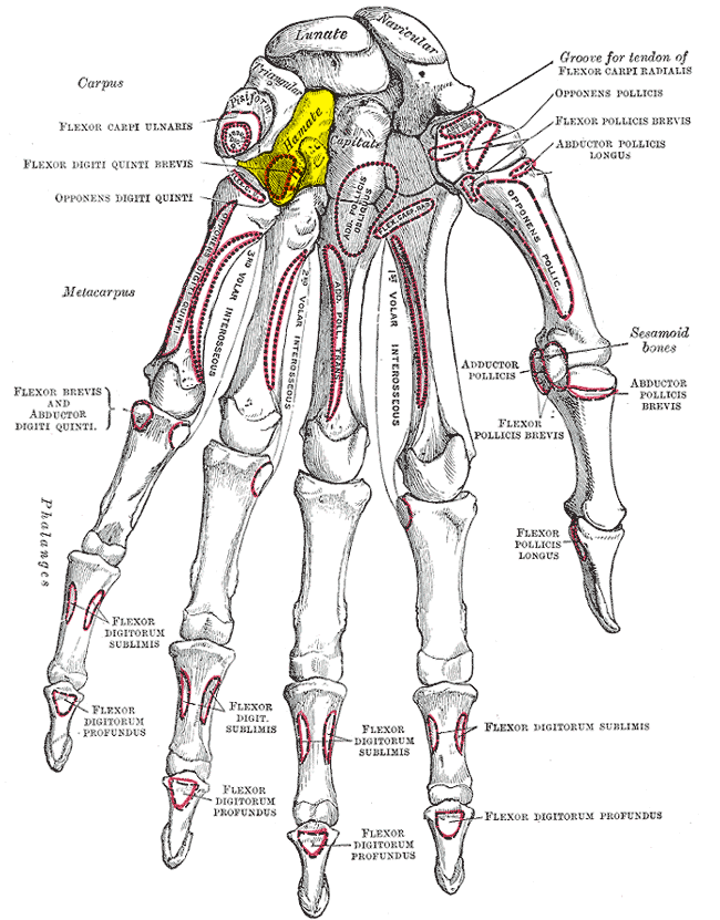 The hand bones are also known as carpel bones. Learn and see the ...