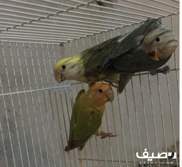 زوج روز منتج ومعاه فرخ Parrot Animals