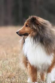 Image Result For Shelties In The Philippines Sheep Dog Puppy Shetland Sheepdog Sheepdog
