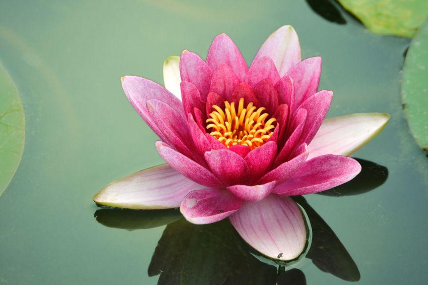 Lotus flower natural cosmetics