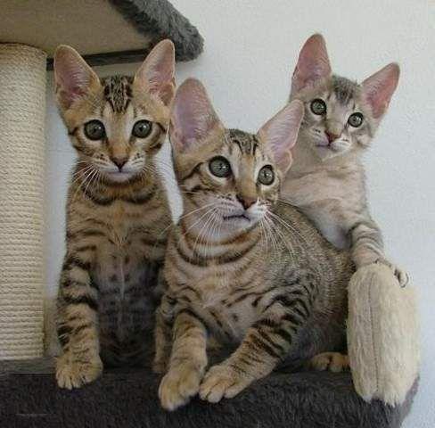 Ocelot Kittens For Sale Google Search Bengal Kitten Kittens Cool Cats