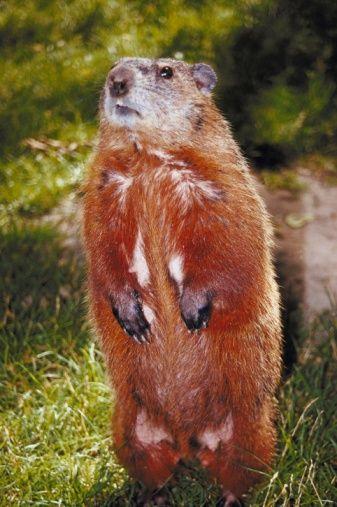 Flowers That Groundhogs And Deer Will Not Eat Hunker Deer Resistant Perennials Groundhog Deer Repellant