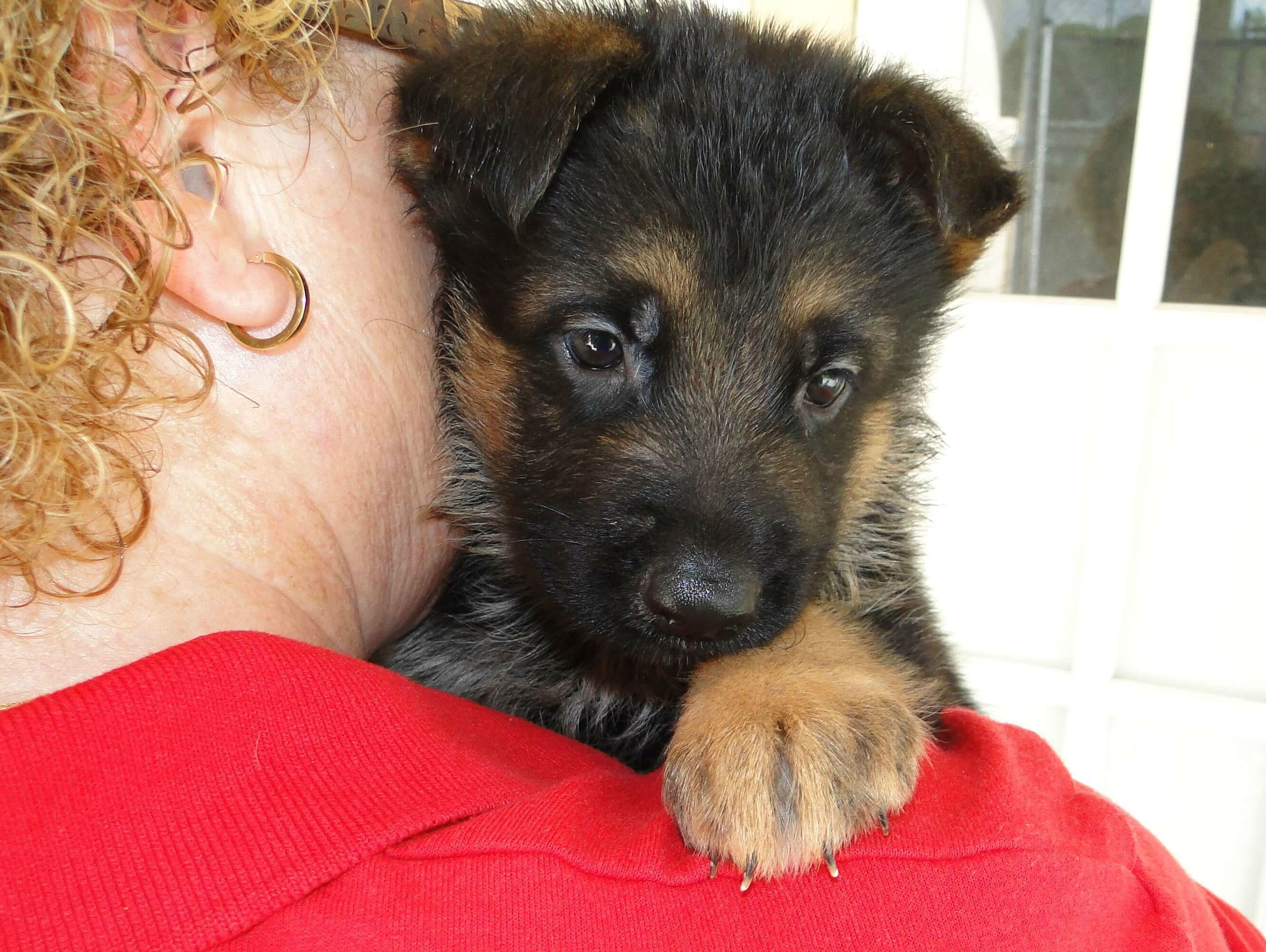 We Provide And Sale Germanshepherdpuppies In Florida Have Good