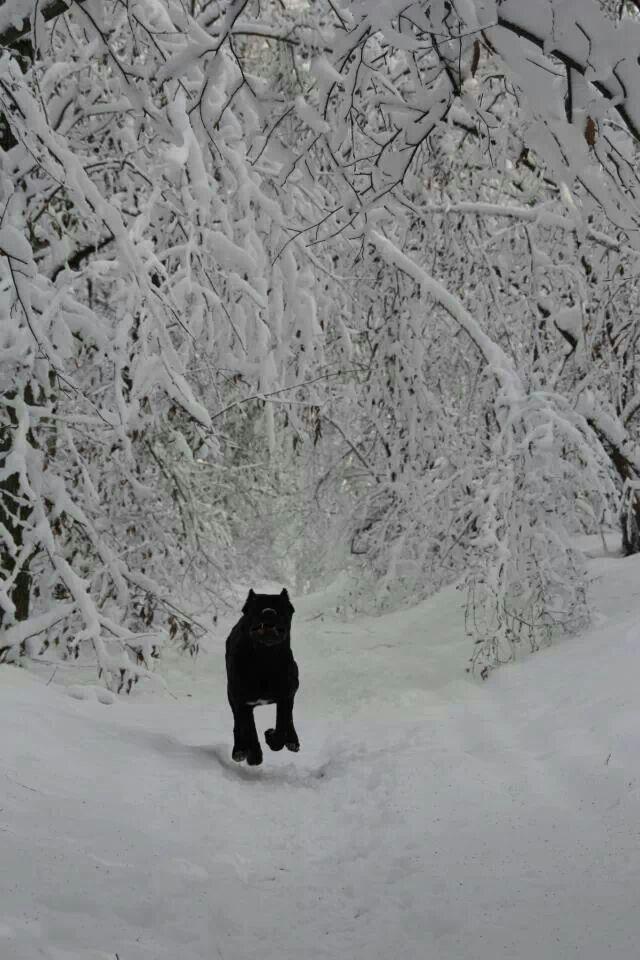Black Cane Corso In Snow
