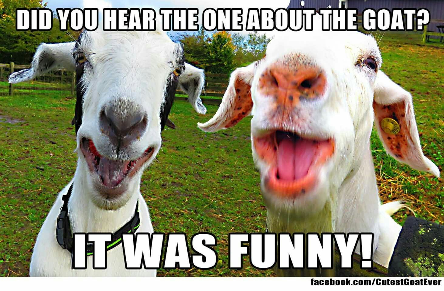 Pin By Leeann Anderson On Goats Goats Funny Cute Goats Baby Goats