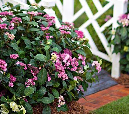 Hydrangea Macrophylla Twist N Shout White Flower Farm White Flower Farm Hydrangea Macrophylla Trees To Plant