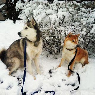Shiba Inu And A Siberian Husky 3 Japanese Dogs Siberian Husky