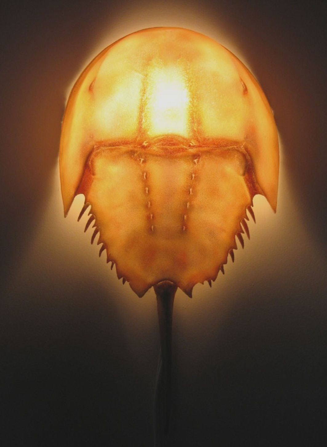 Horseshoe Crab Taxidermied Wall Sconce Lamp Horseshoe Crab