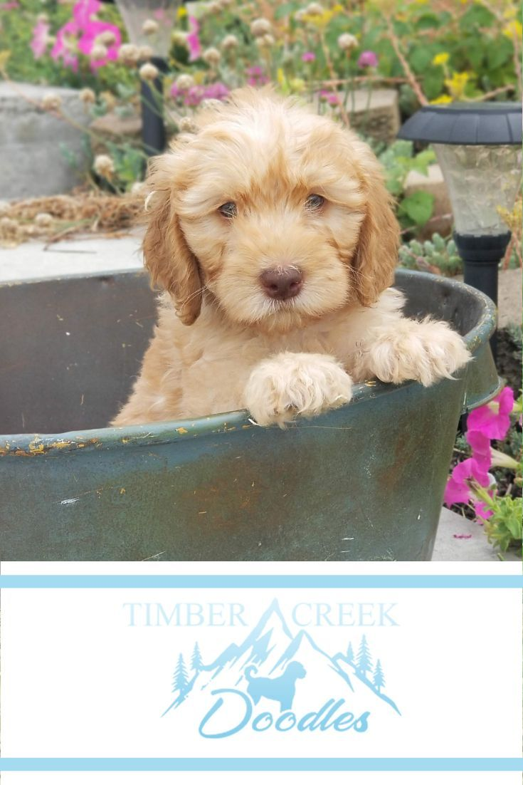 We Re Dedicated To Raising The Best Mini Goldendoodle And Mini