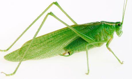 Image result for green grasshopper
