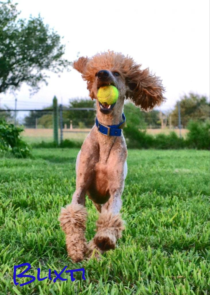 """""""Blixti! It's a ball!"""" Poodle, Poodle grooming, Tea cup"""