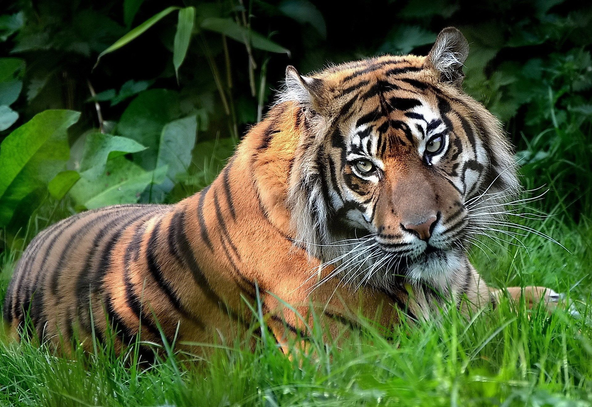 1417589, high resolution wallpapers = tiger picture | ololoshenka