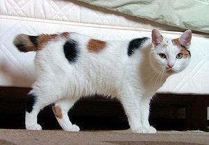 American Bobtail Cat Bobtail Cat American Bobtail Cat Cute Cat Breeds