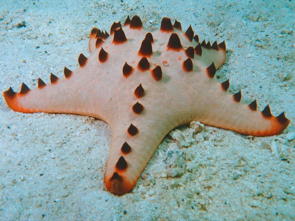 Amazing Stars And Starfish Chocolate Chip Starfish Starfish Sea Star
