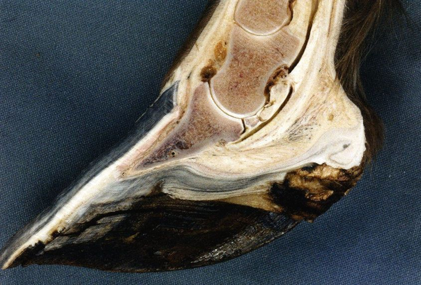 Navicular disease in an extremely overgrown hoof.