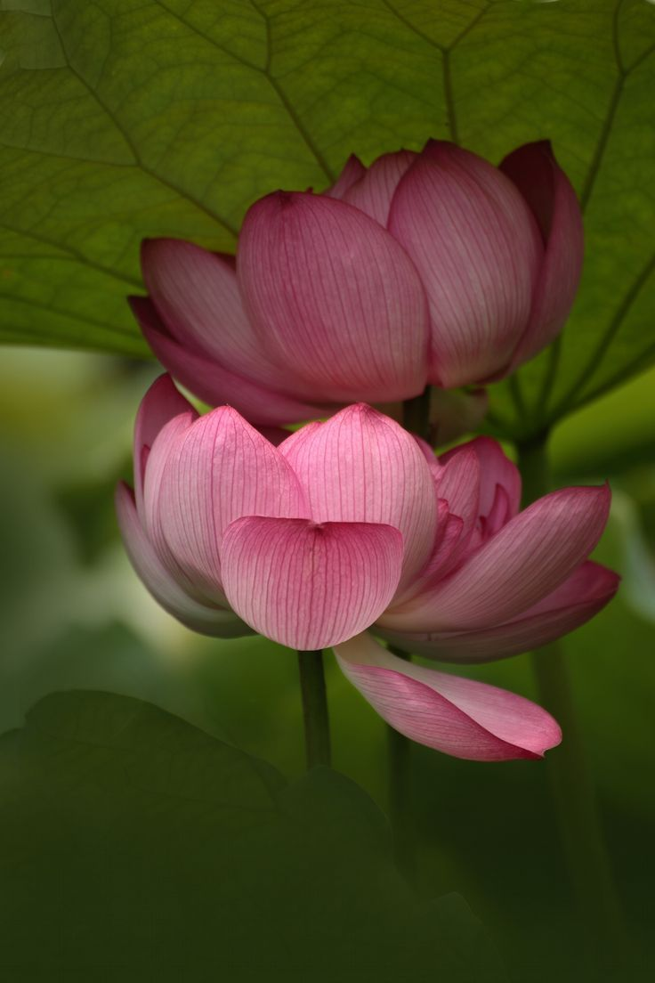 Pin By Susa On Flores Pinterest Lotus Water Lilies And Flowers