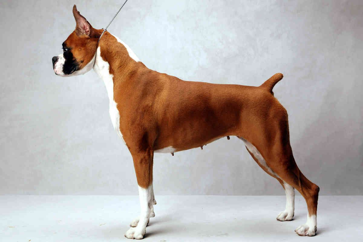 Westminster S Best Of Breed Westminster Dog Show Boxer Dogs Estrela Mountain Dog