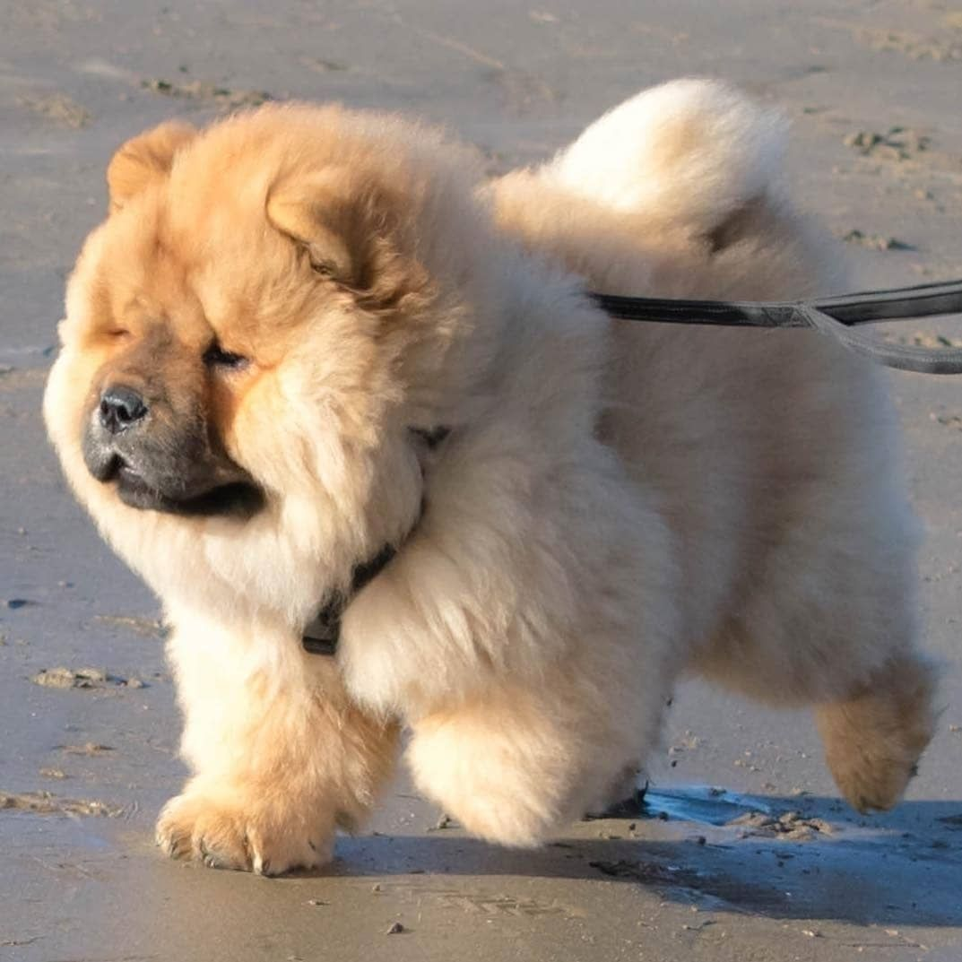 Pin By Doreen Neumann On Chowchow Dog Lovers Cute Dogs I