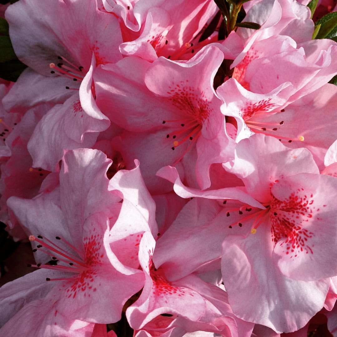 Thestick81 Amazing Azaleas Pink Azalea Flowers Floweroftheday