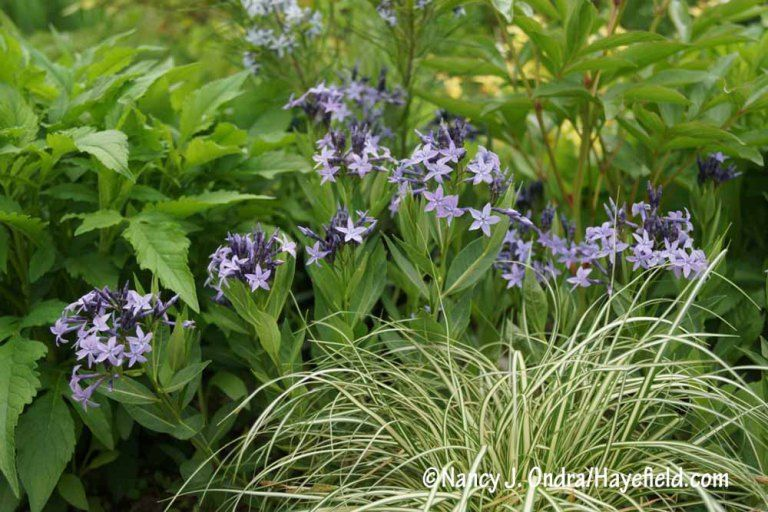 Blue Ice Bluestar Amsonia With Cream Striped Evergold Sedge