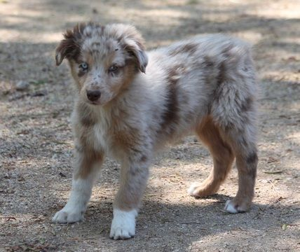 Litter Of 6 Australian Shepherd Puppies For Sale In Acton Ca Adn 31938 On Puppyfinder Com Gender Female Age 1 Australian Shepherd Puppies For Sale Puppies