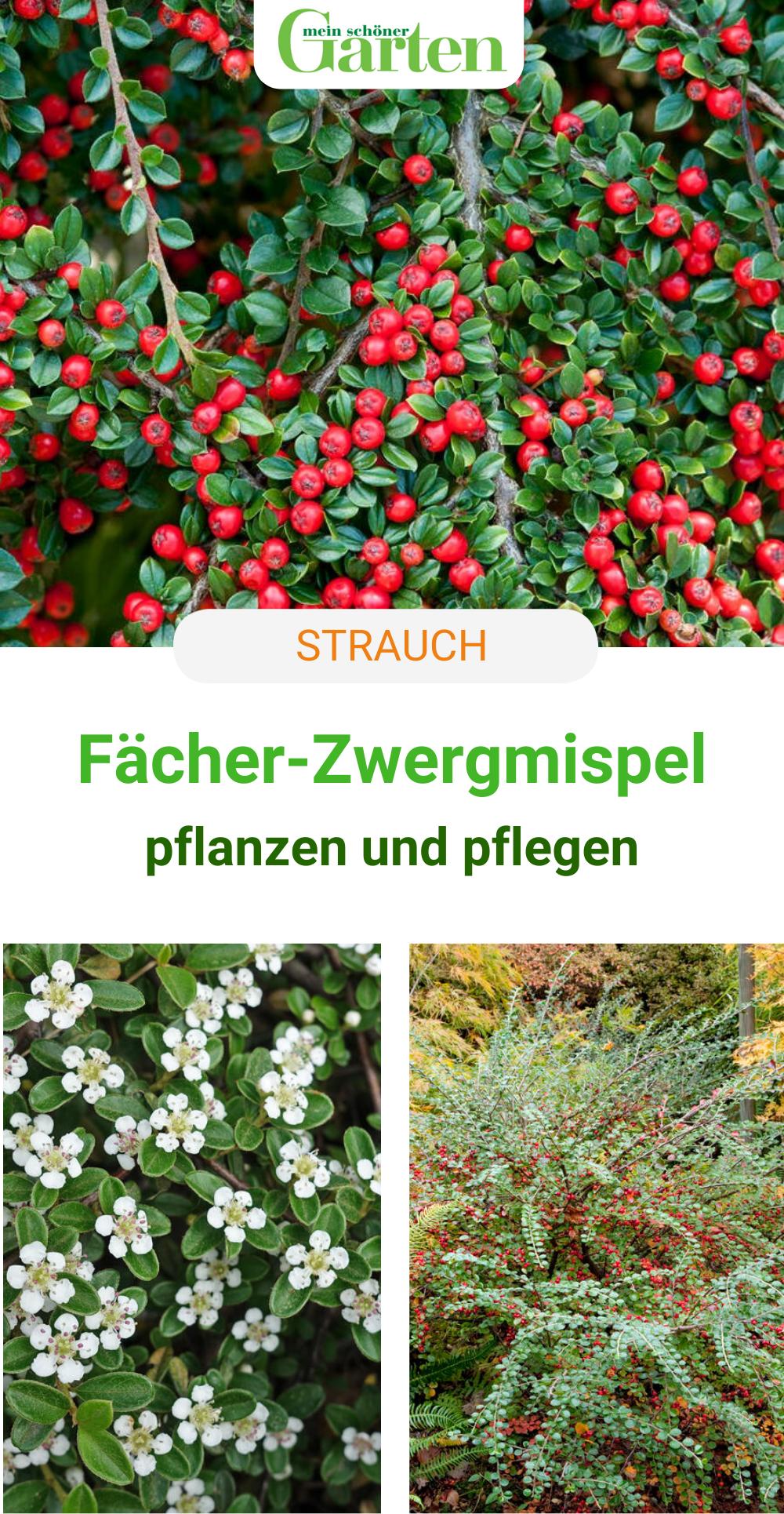 Straucher Facher Zwergmispel Mispel Pflanzen Bodendecker